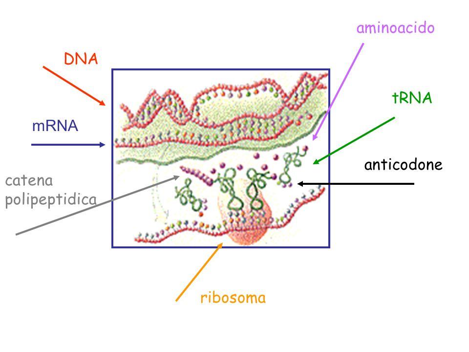 aminoacido DNA tRNA mRNA anticodone catena polipeptidica ribosoma