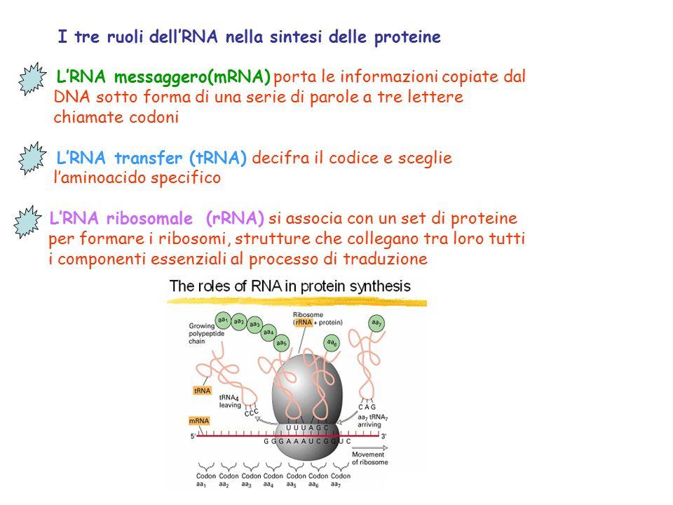 I tre ruoli dell'RNA nella sintesi delle proteine
