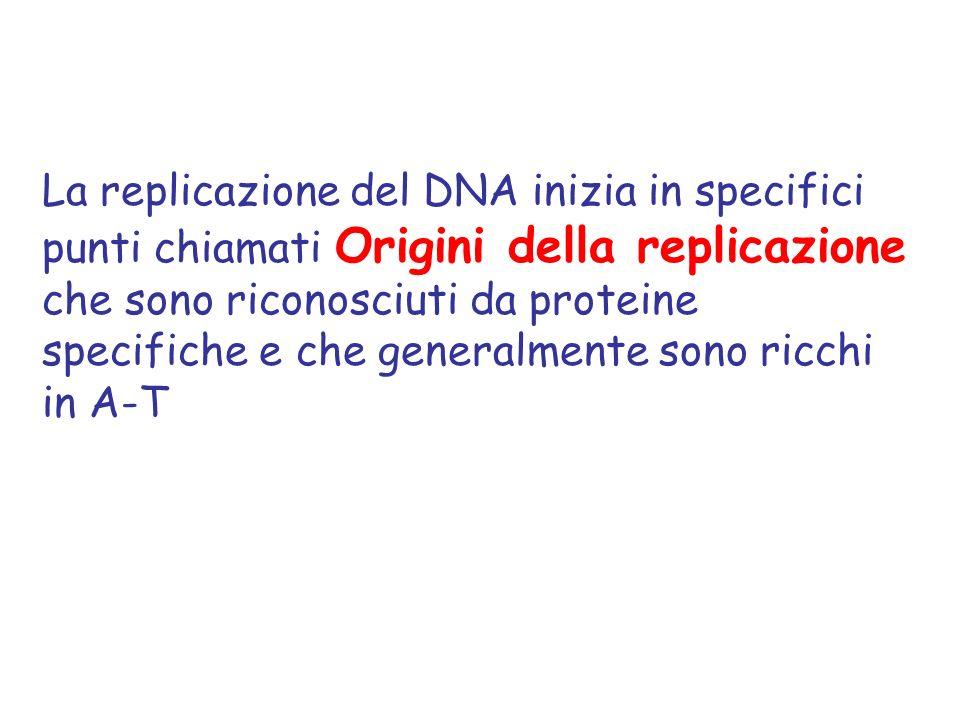 La replicazione del DNA inizia in specifici punti chiamati Origini della replicazione che sono riconosciuti da proteine