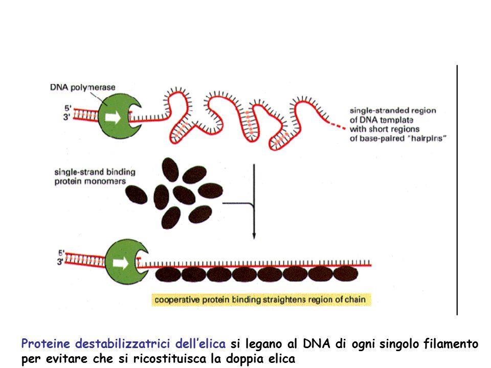 Proteine destabilizzatrici dell'elica si legano al DNA di ogni singolo filamento