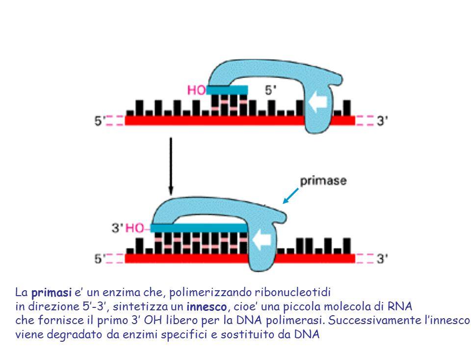 La primasi e' un enzima che, polimerizzando ribonucleotidi