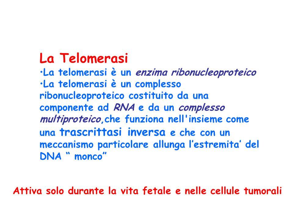 La Telomerasi La telomerasi è un enzima ribonucleoproteico