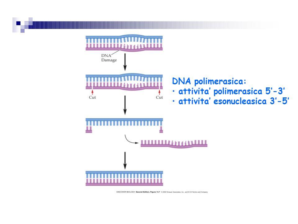 DNA polimerasica: attivita' polimerasica 5'-3' attivita' esonucleasica 3'-5'