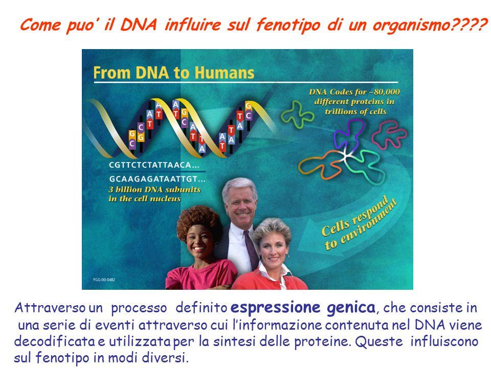 Come puo' il DNA influire sul fenotipo di un organismo