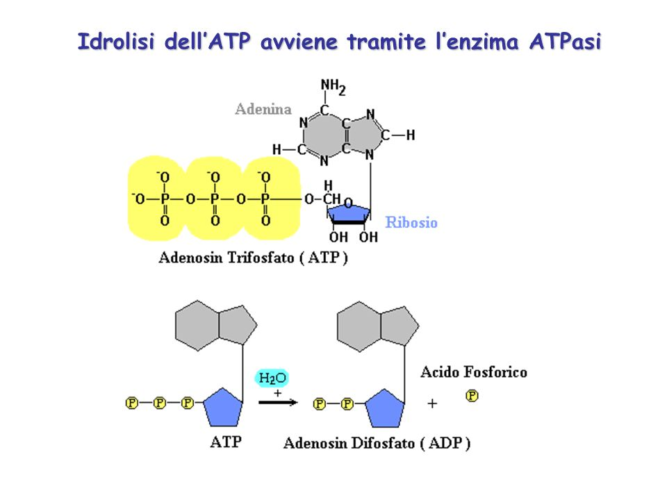 Idrolisi dell'ATP avviene tramite l'enzima ATPasi