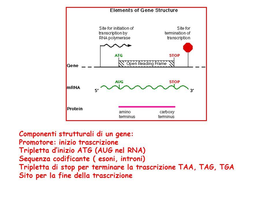 Componenti strutturali di un gene: