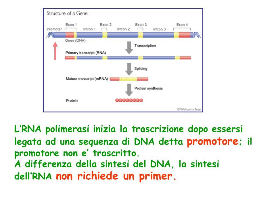 L'RNA polimerasi inizia la trascrizione dopo essersi legata ad una sequenza di DNA detta promotore; il promotore non e' trascritto.