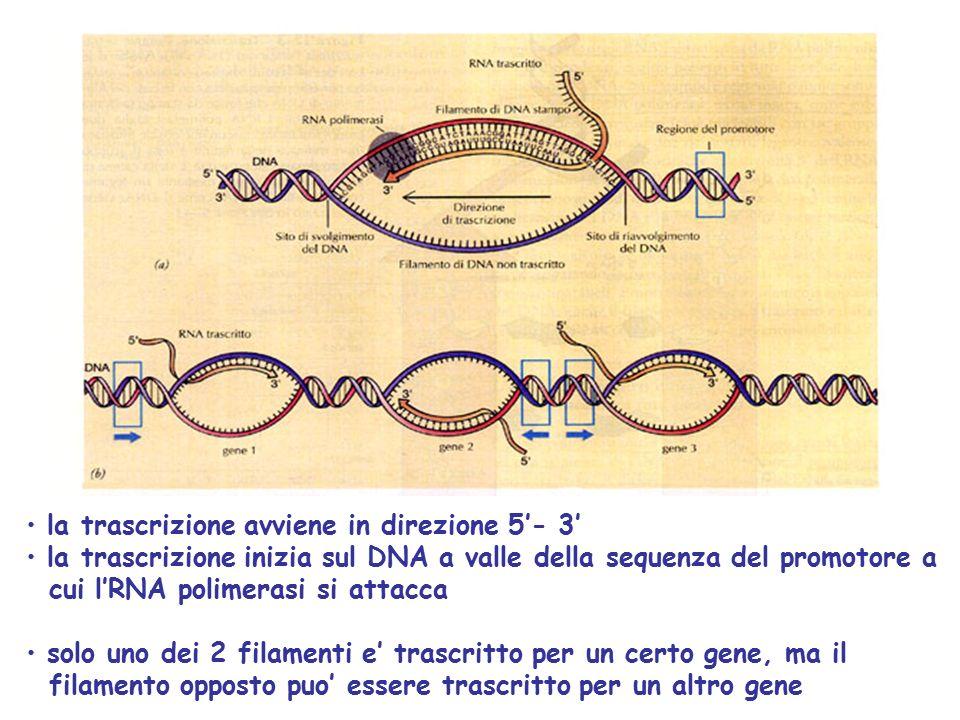 la trascrizione avviene in direzione 5'- 3'