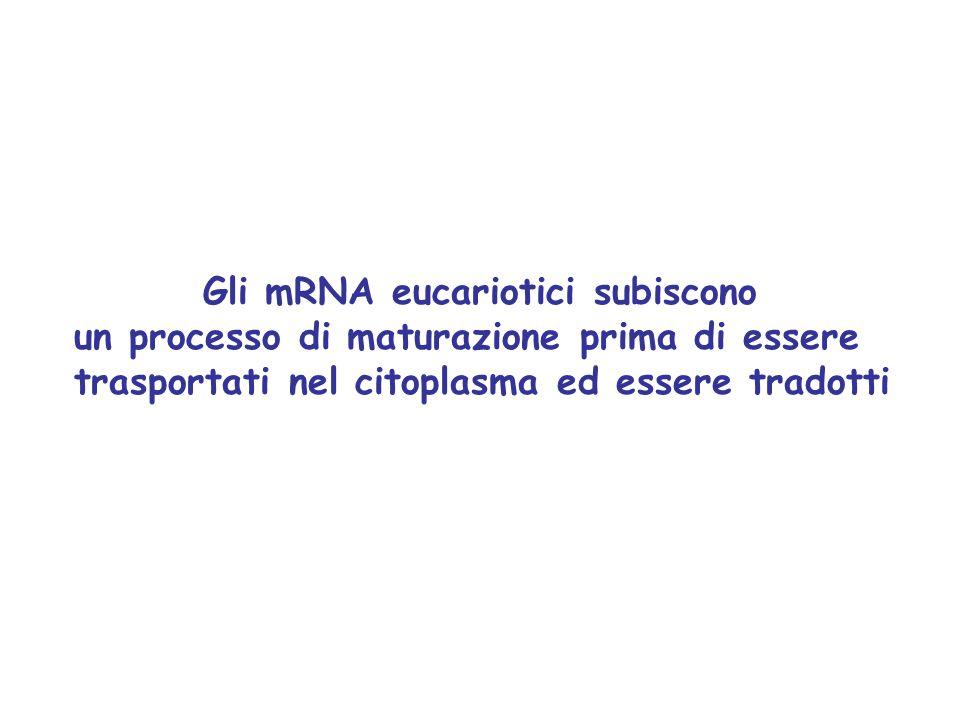 Gli mRNA eucariotici subiscono
