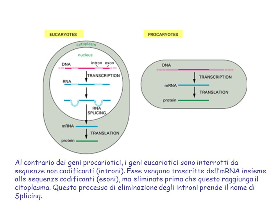 Al contrario dei geni procariotici, i geni eucariotici sono interrotti da sequenze non codificanti (introni).