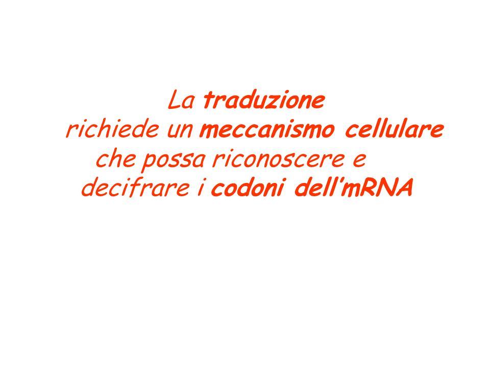 La traduzione richiede un meccanismo cellulare che possa riconoscere e decifrare i codoni dell'mRNA