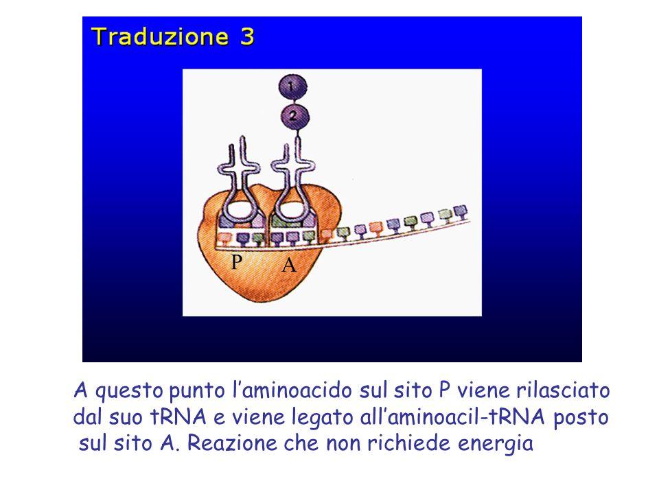 P A. A questo punto l'aminoacido sul sito P viene rilasciato. dal suo tRNA e viene legato all'aminoacil-tRNA posto.