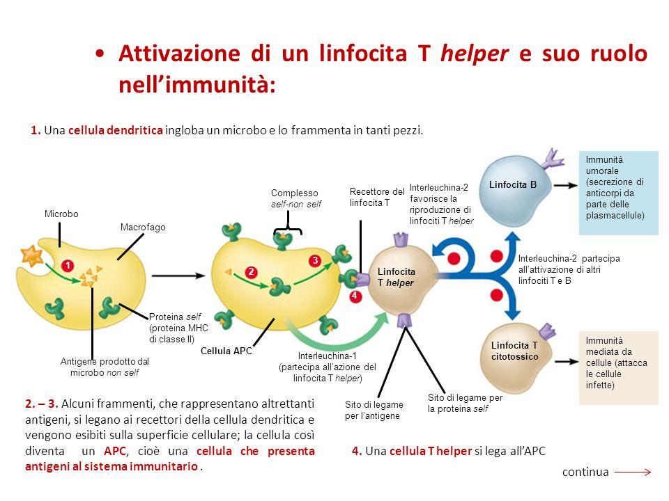 Attivazione di un linfocita T helper e suo ruolo nell'immunità: