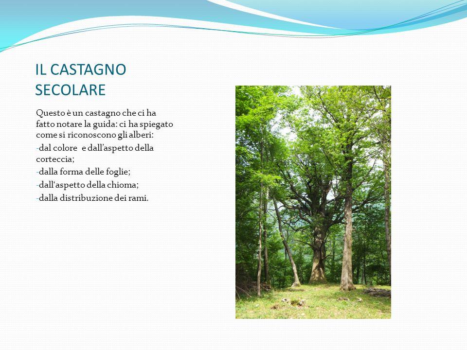 IL CASTAGNO SECOLARE Questo è un castagno che ci ha fatto notare la guida: ci ha spiegato come si riconoscono gli alberi: