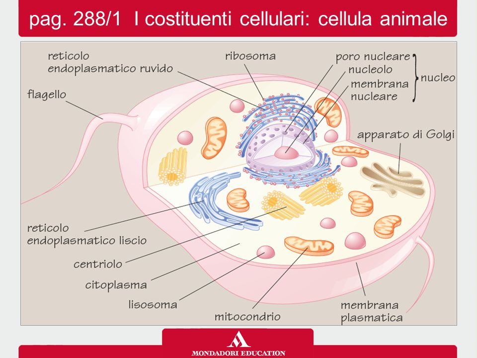 pag. 288/1 I costituenti cellulari: cellula animale