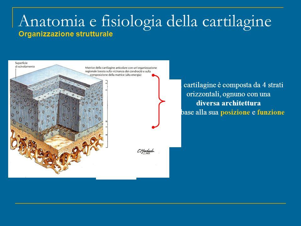 Anatomia e fisiologia della cartilagine