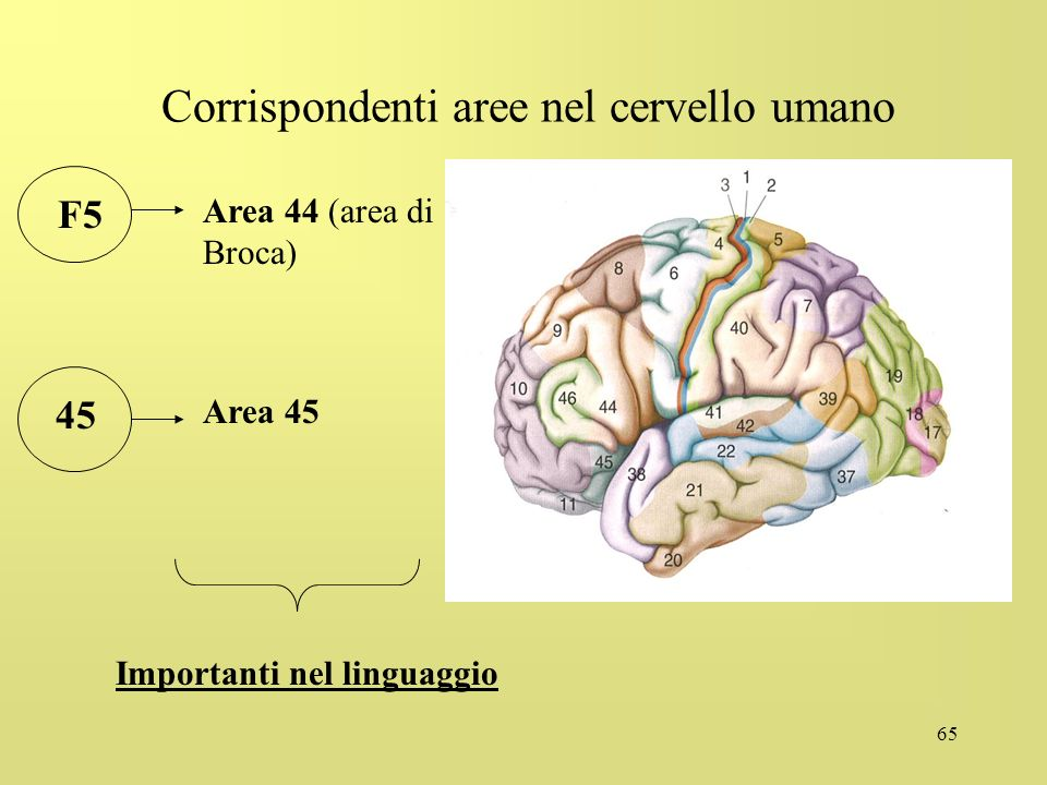 Corrispondenti aree nel cervello umano