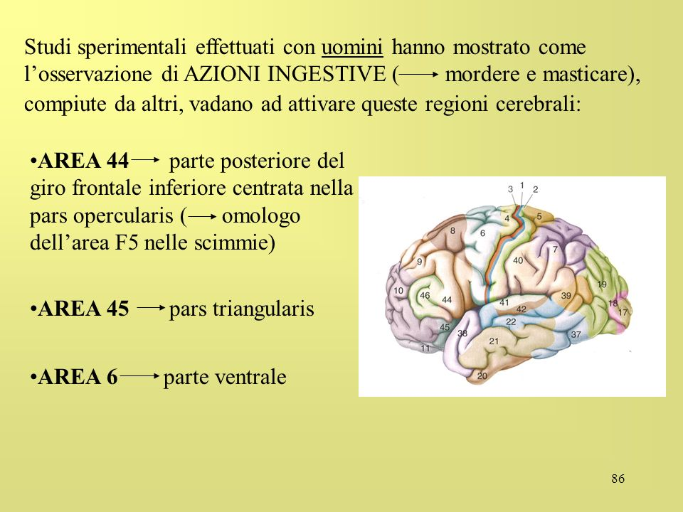 Studi sperimentali effettuati con uomini hanno mostrato come l'osservazione di AZIONI INGESTIVE ( mordere e masticare),