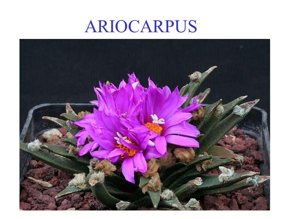 ARIOCARPUS