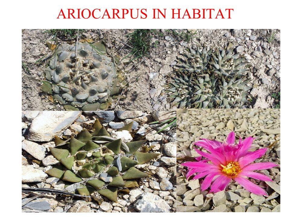 ARIOCARPUS IN HABITAT