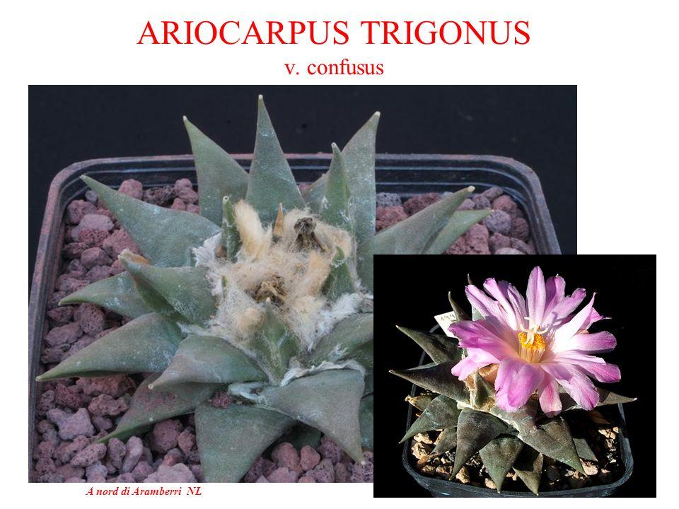 ARIOCARPUS TRIGONUS v. confusus
