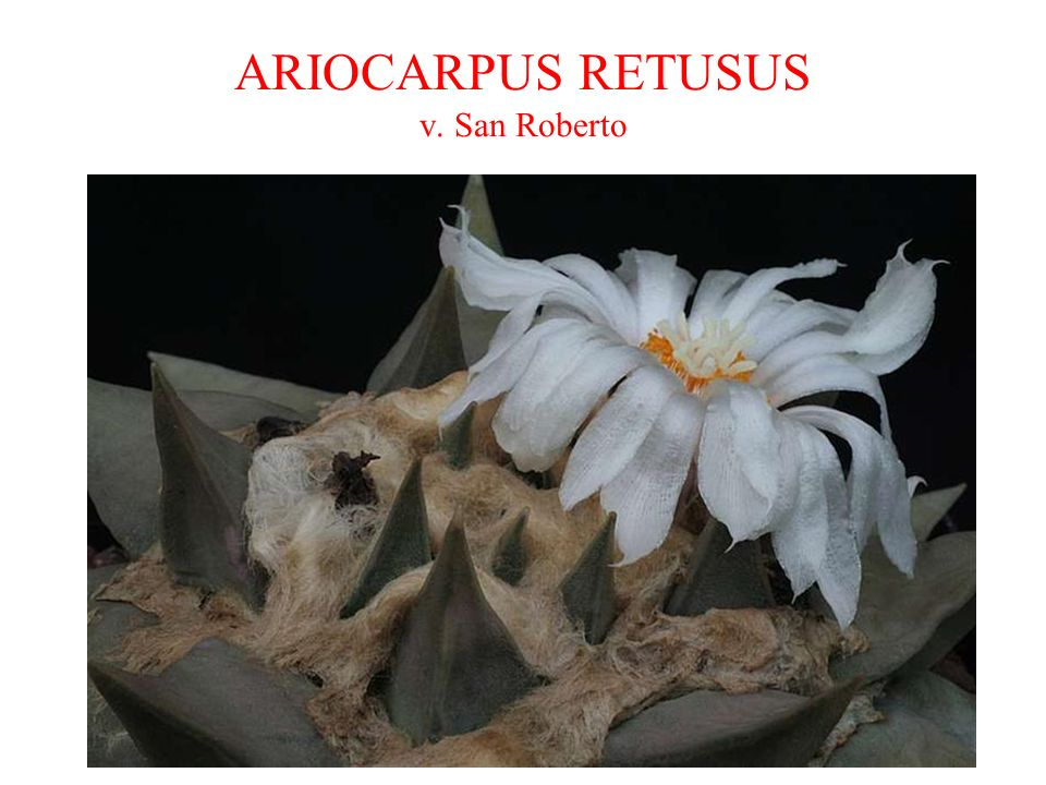 ARIOCARPUS RETUSUS v. San Roberto