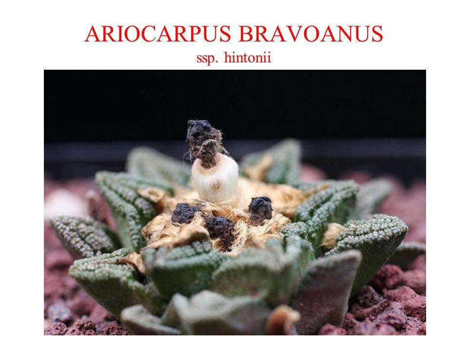 ARIOCARPUS BRAVOANUS ssp. hintonii