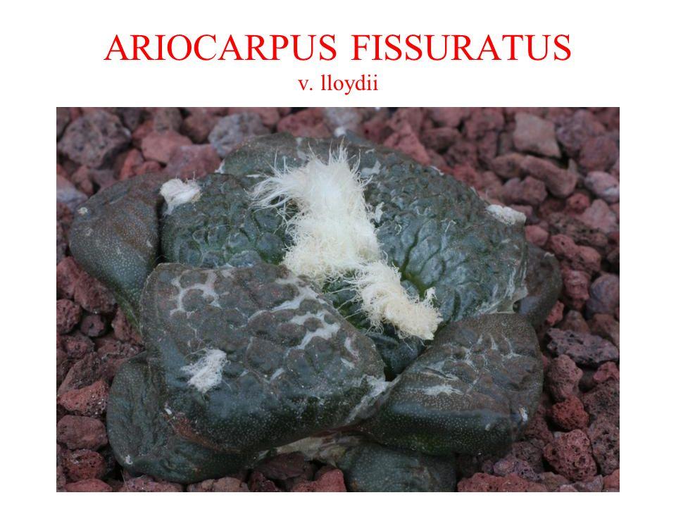 ARIOCARPUS FISSURATUS v. lloydii