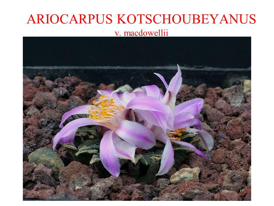 ARIOCARPUS KOTSCHOUBEYANUS v. macdowellii
