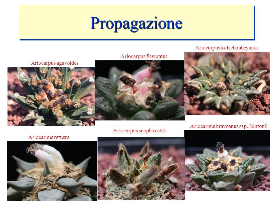 Propagazione Ariocarpus kotschoubeyanus Ariocarpus fissuratus