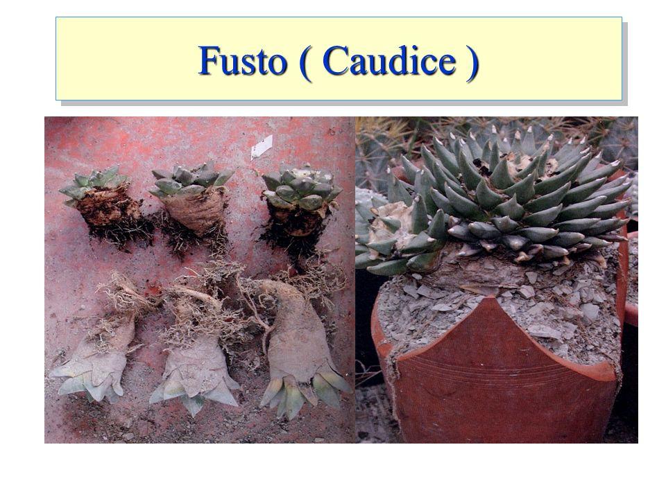 Fusto ( Caudice )