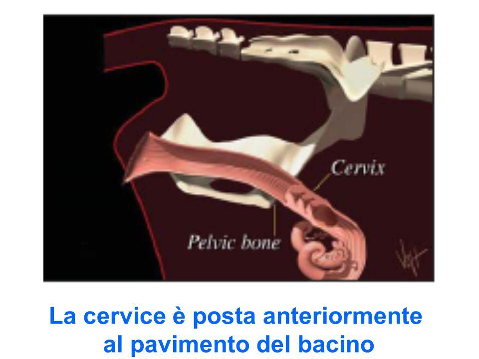 La cervice è posta anteriormente al pavimento del bacino