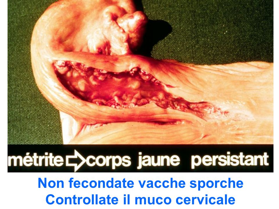 Non fecondate vacche sporche Controllate il muco cervicale