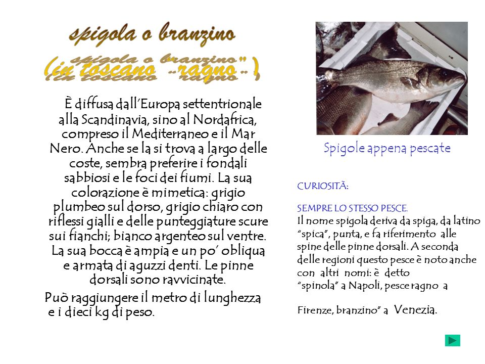spigola o branzino (in toscano ragno )