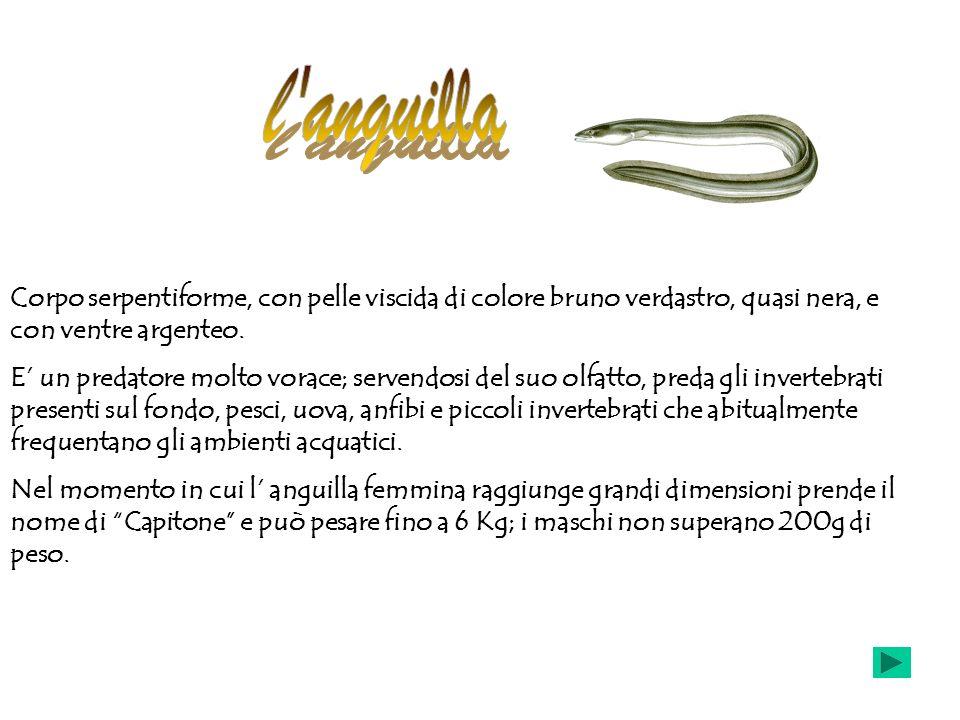 l anguilla Corpo serpentiforme, con pelle viscida di colore bruno verdastro, quasi nera, e con ventre argenteo.