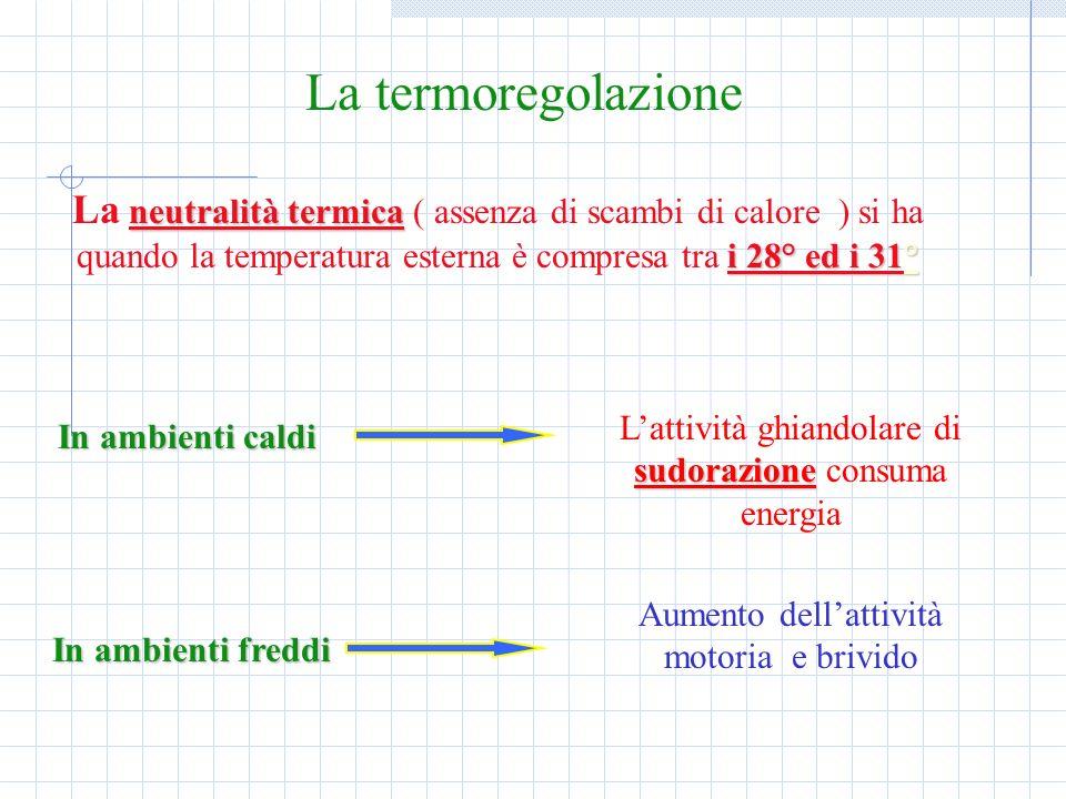 La termoregolazione La neutralità termica ( assenza di scambi di calore ) si ha quando la temperatura esterna è compresa tra i 28° ed i 31°