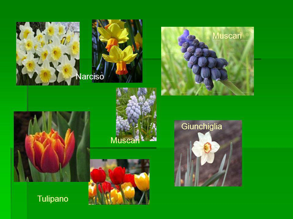 Muscari Narciso Giunchiglia Muscari Tulipano
