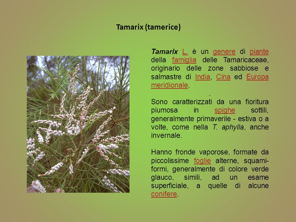 Tamarix (tamerice)