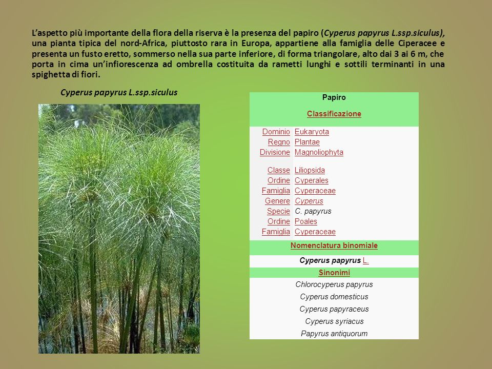 Cyperus papyrus L.ssp.siculus