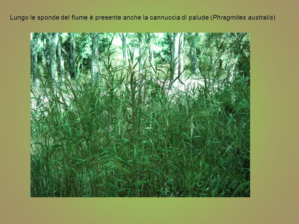 Lungo le sponde del fiume è presente anche la cannuccia di palude (Phragmites australis)
