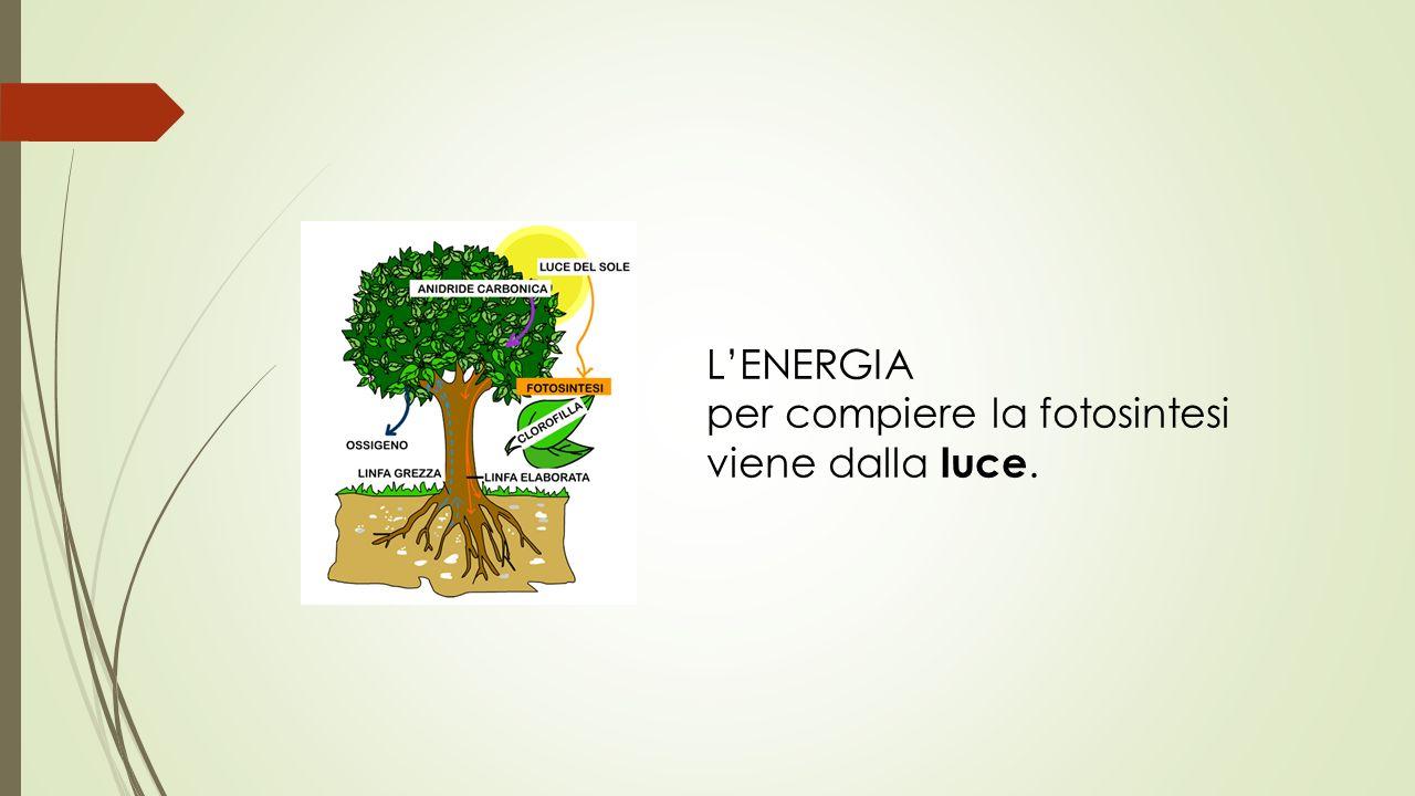 L'ENERGIA per compiere la fotosintesi viene dalla luce.