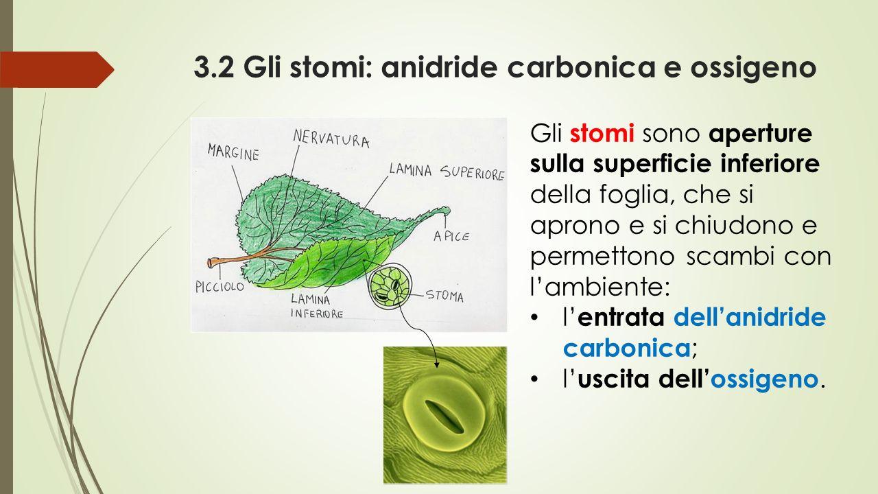 3.2 Gli stomi: anidride carbonica e ossigeno