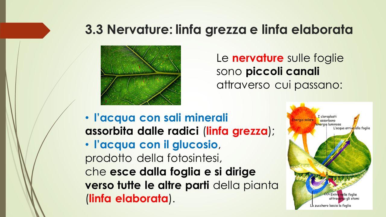 3.3 Nervature: linfa grezza e linfa elaborata