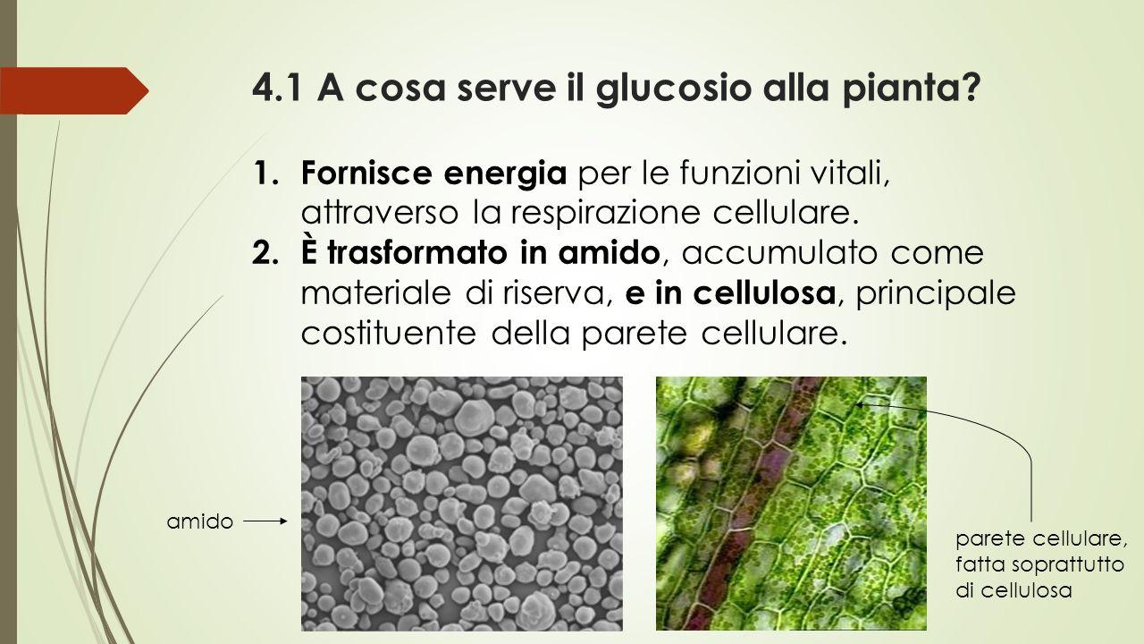4.1 A cosa serve il glucosio alla pianta
