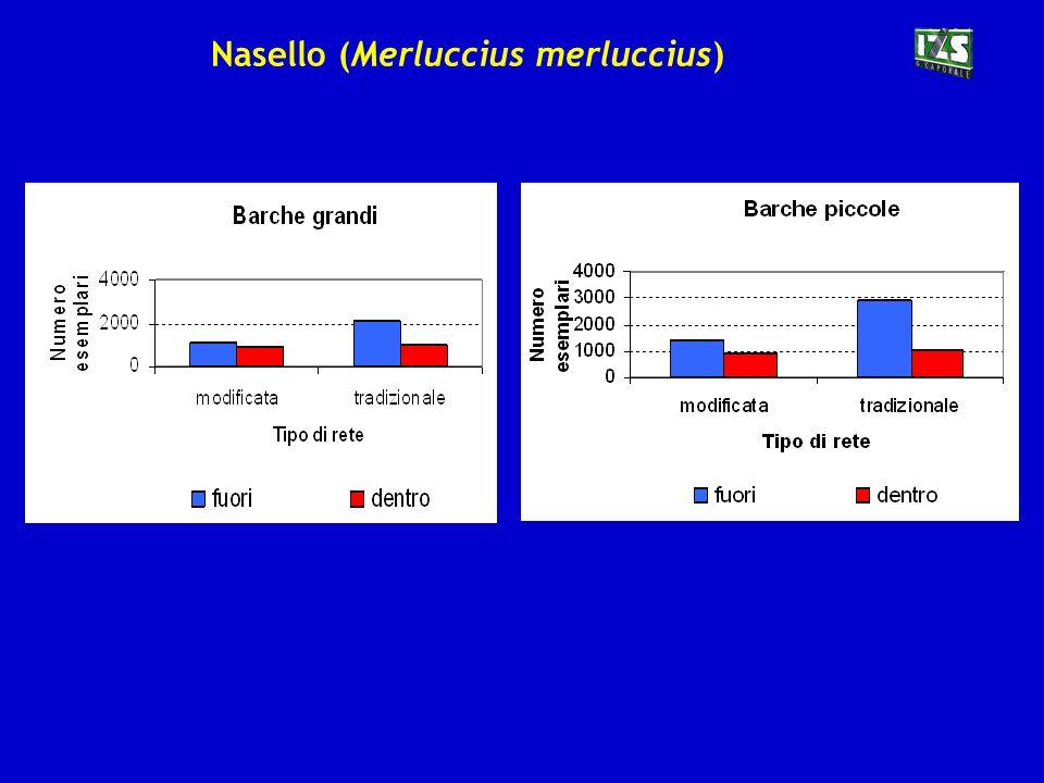 Nasello (Merluccius merluccius)
