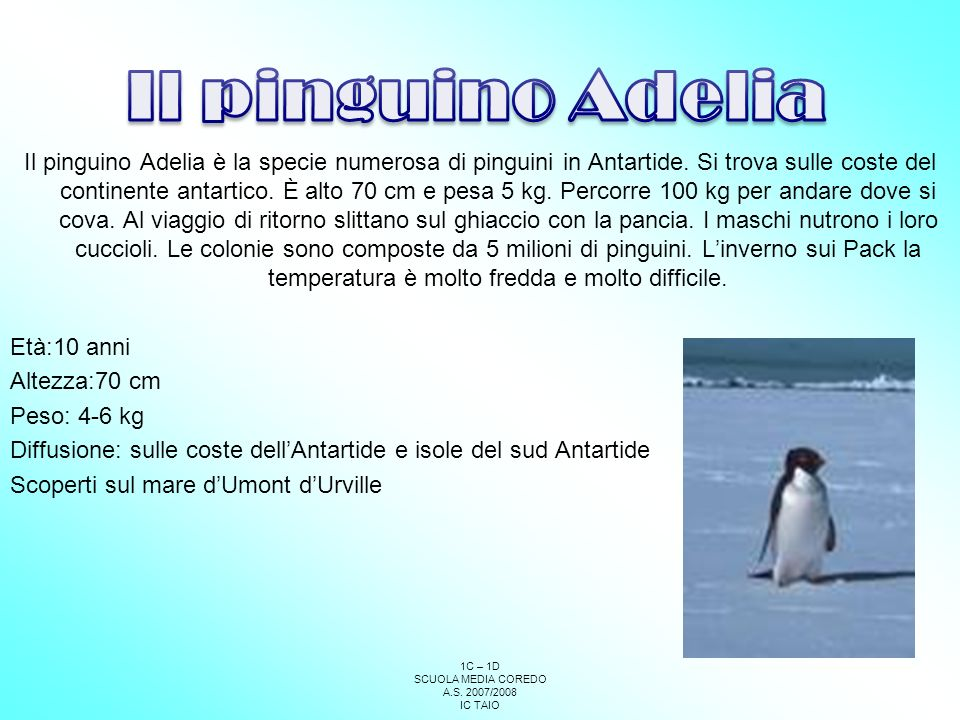 Il pinguino Adelia