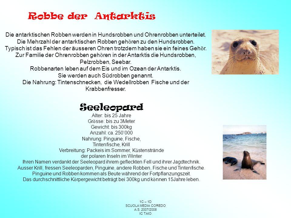 Robbe der Antarktis Seeleopard