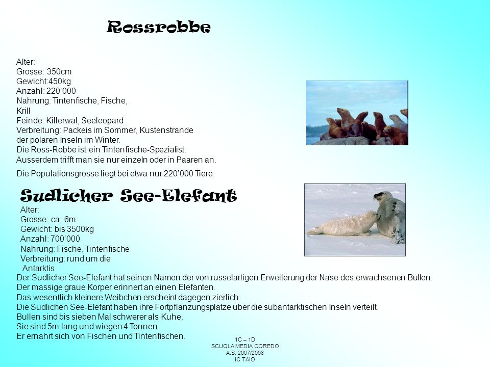 Sudlicher See-Elefant
