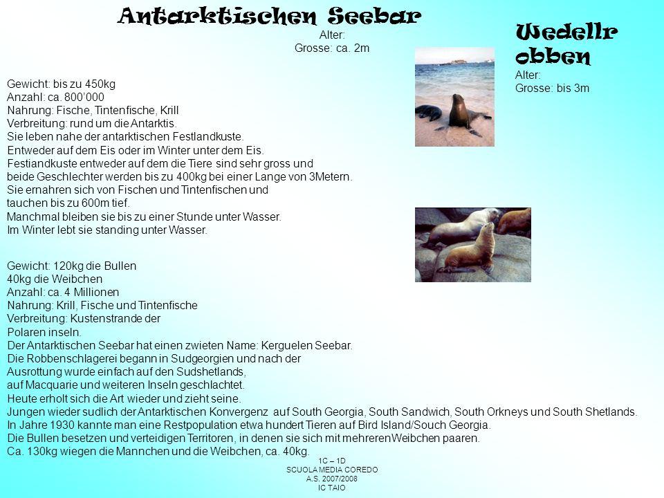 Antarktischen Seebar Wedellrobben Alter: Grosse: ca. 2m Alter: