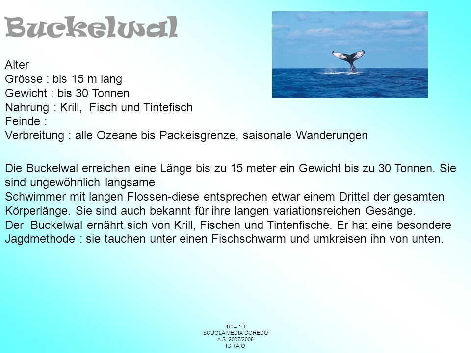 Buckelwal Alter Grösse : bis 15 m lang Gewicht : bis 30 Tonnen